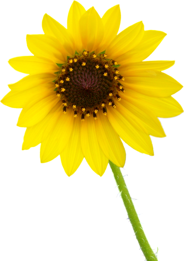 single sun flower png